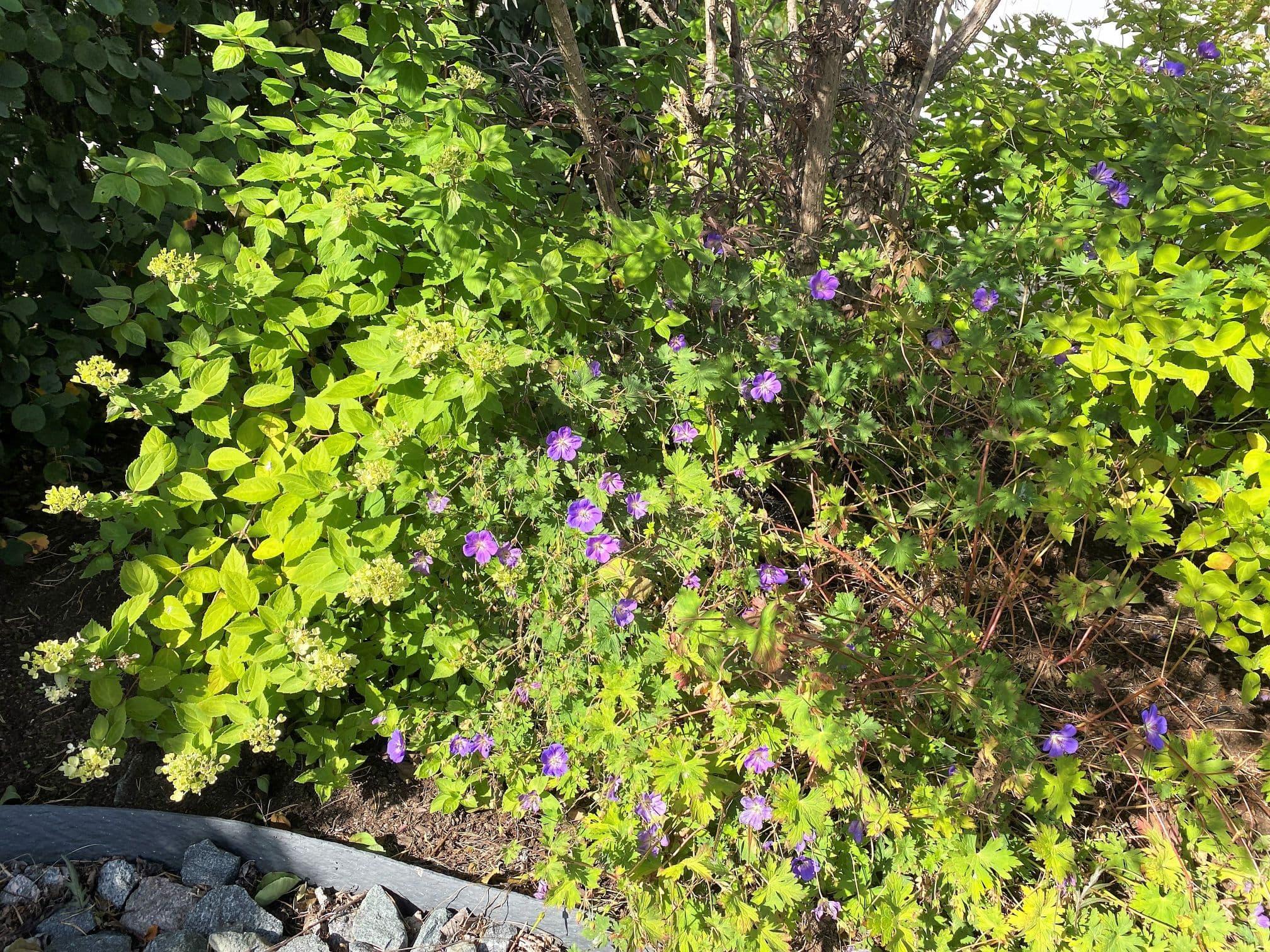 Rabatter med blommor, buskar som harmoniserar